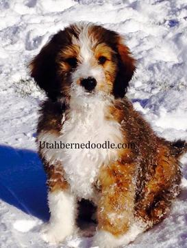 puppy-bernedoodle-sable