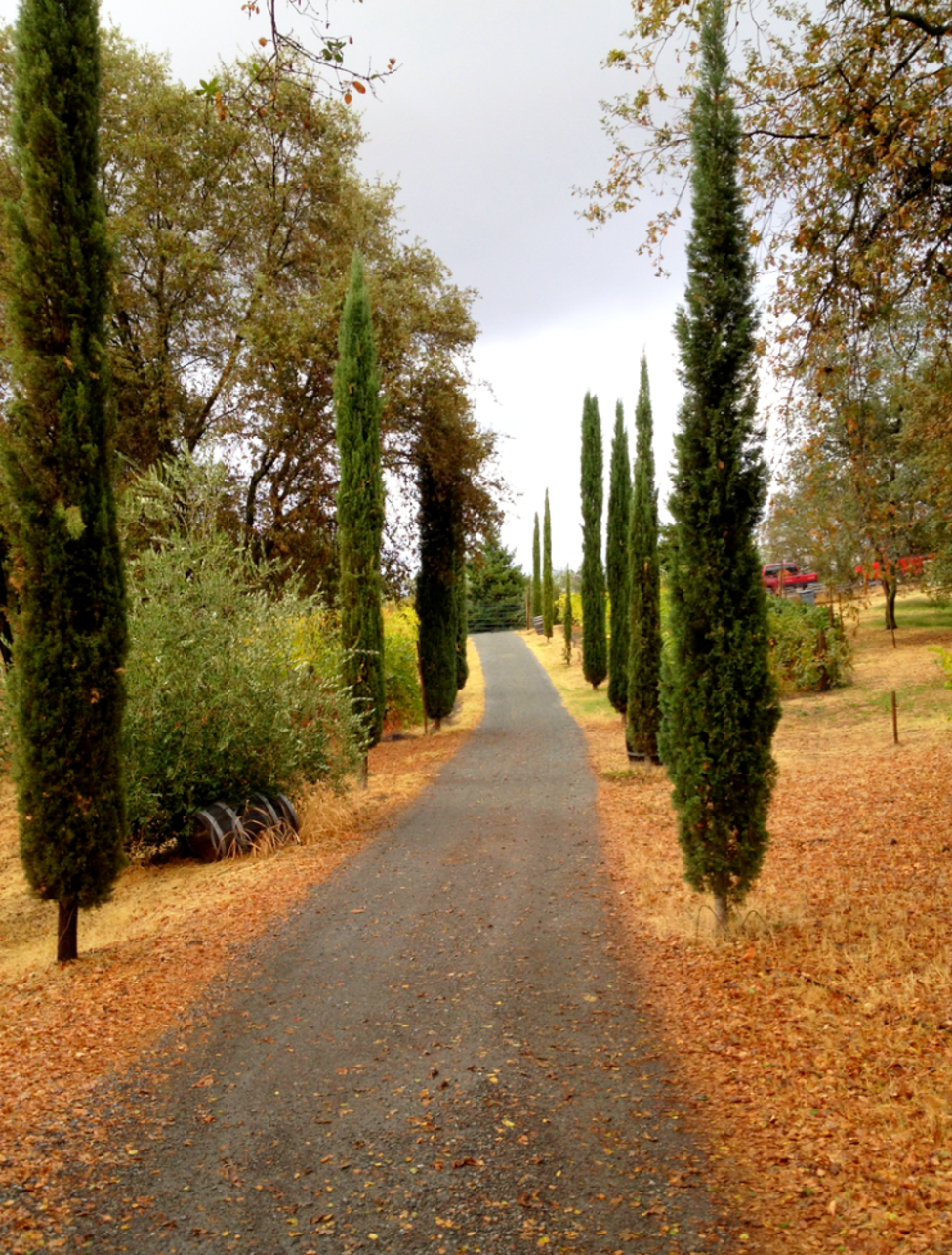 Walking path through Cypress trees and Vineyards