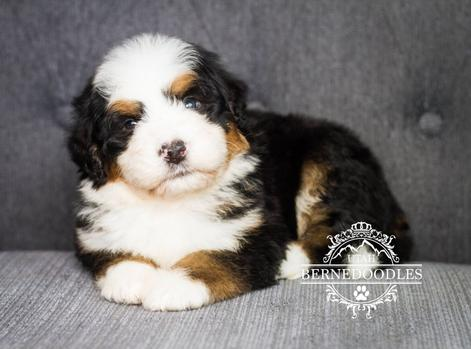 Bernedoodle Available Puppies Utahberendoodles