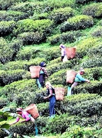Tea Garden workers at Darjeeling