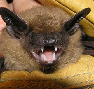 bat removal kentucky