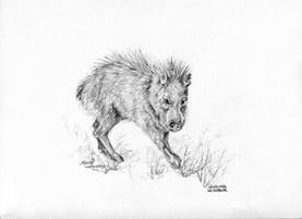 Javelina Neighbor, graphite drawing by Lindy Cook Severns