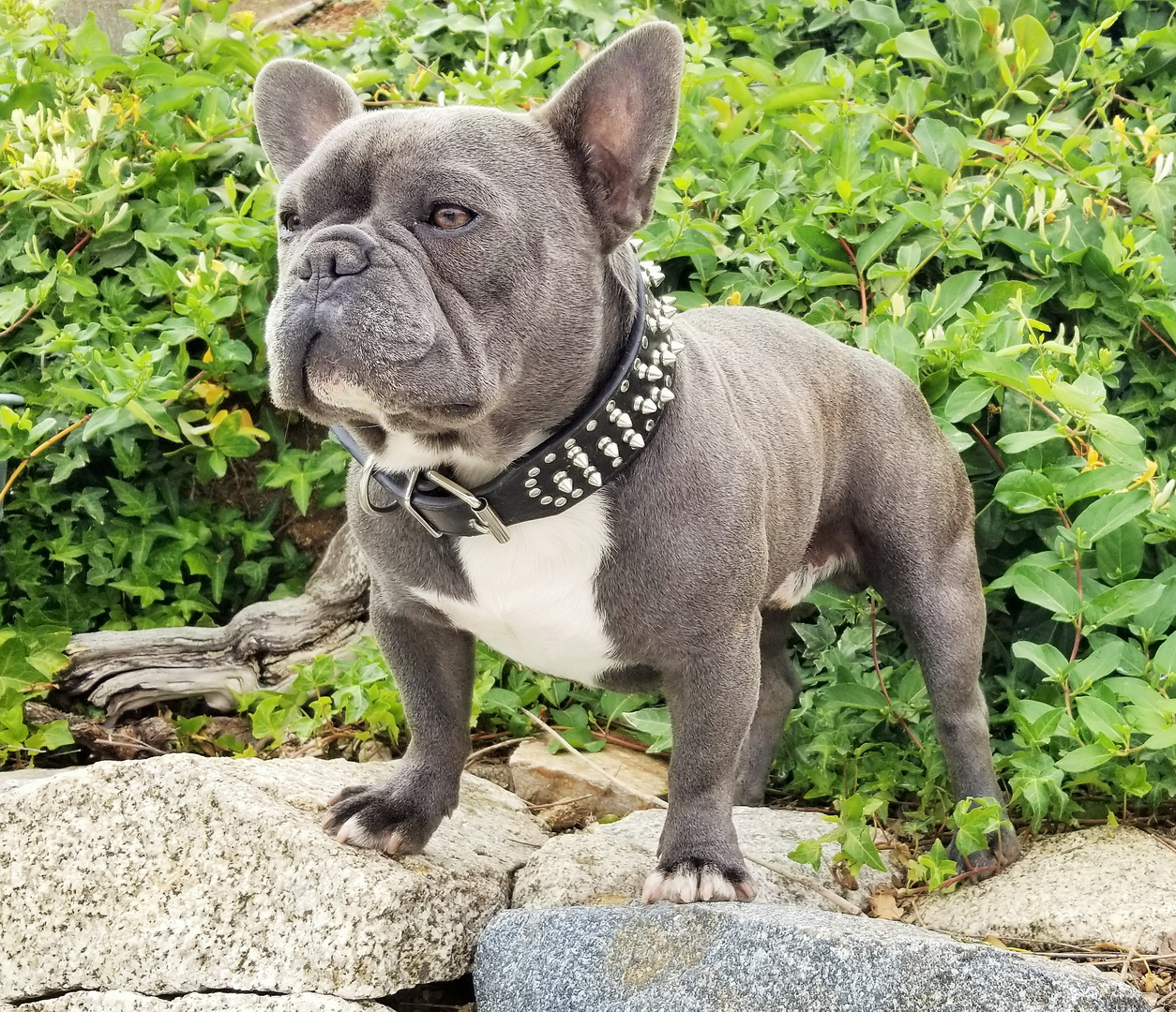 french bulldog stud service - blue mountain french bulldogs