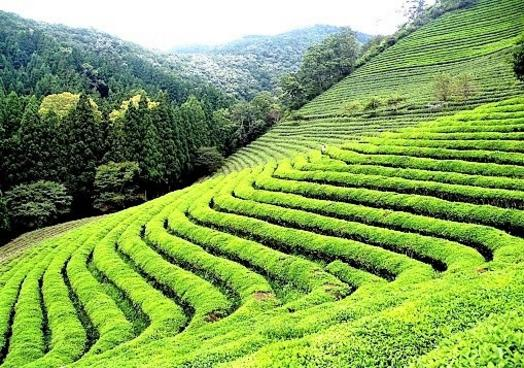 Tea Gardens Of Darjeeling Tourism Packages