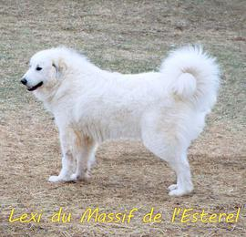 Lexi Wells Providence Great Pyrenees
