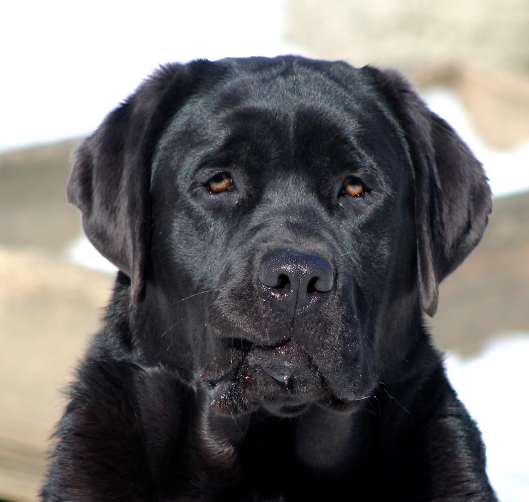 black english labs for sale