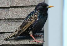 starling control, starling removal, kentucky bird control, kentucky bird removal
