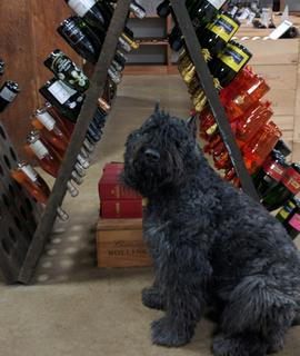 Napoleon the shop mascot Bouvier des Flandres