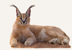 Hunting Caracal Namibia