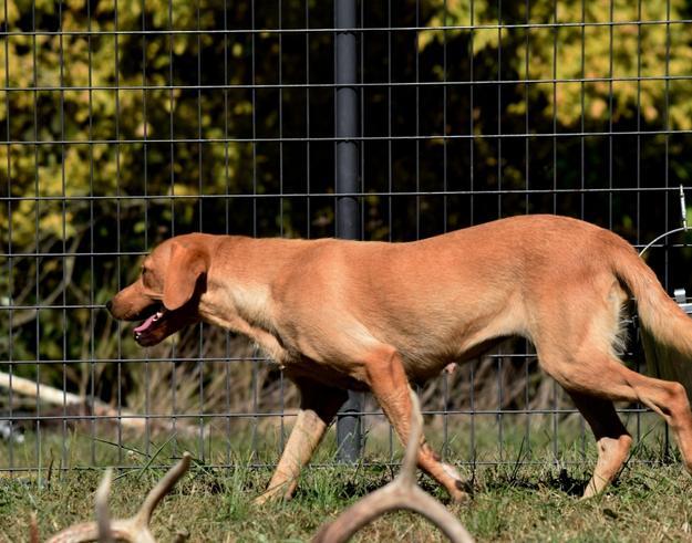 British Labrador Retriever Yellow Lab Puppies For Sale