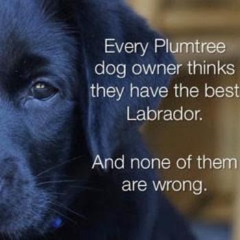 Breeding Quality Akc English Labrador Retriever Puppies