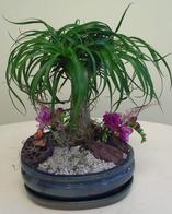 NB-BONSAIPONY Ponytail Palm Bonsai Plant