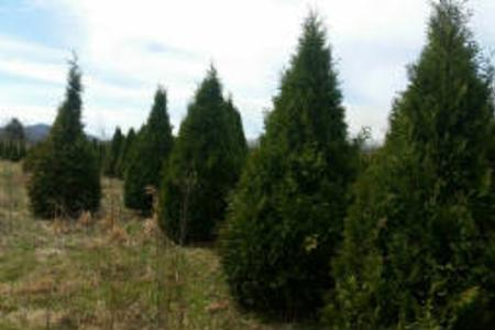 Thuja Occidentalis Nigra, Dark American