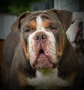 lilac tri olde english bulldogge stud