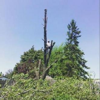 Arborist topping large tree, Hamilton Tree Removal, Residential Tree Service,