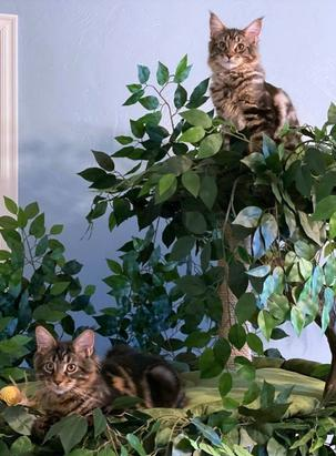 Best Cat Trees for Maine Coon Cats