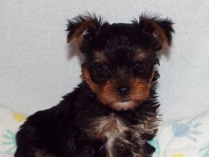 Toy Breed Puppies For Sale In Texas Vickys Toy Puppies