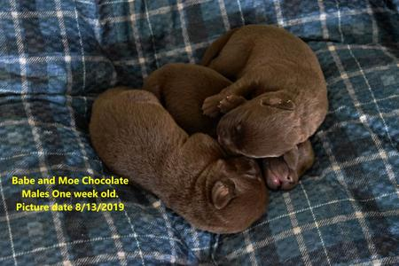 Labrador breeder chicago