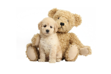 Goldendoodle Puppies, Portland, Seattle, Washington, Oregon, California,