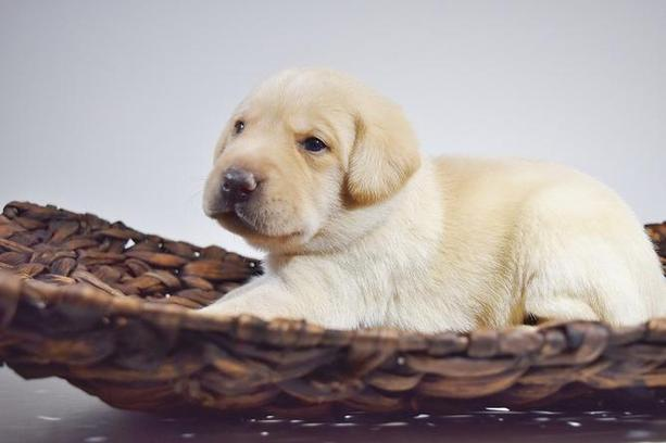 Lab Puppies for Sale Chicago - Lab Puppy Chicago