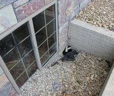 Skunk in window well