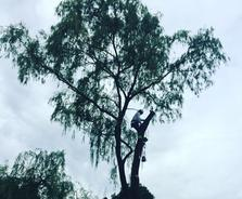 Tree Climber in large willow tree, Hamilton Tree Removal, Grimsby Tree Servicec