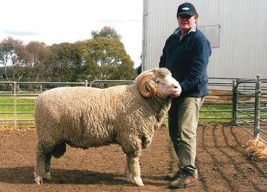 Rafter 7 Merinos - Merino Sheep, Sheep For Sale, Merino Sheep For Sale
