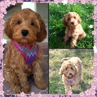 Red Labradoodle Puppy with Scarf, two Red Labradoodle Puppies