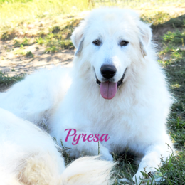 Pyresa Wells Providence Great Pyrenees