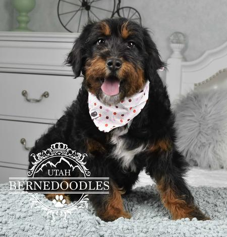 Phantom Mini Bernedoodle