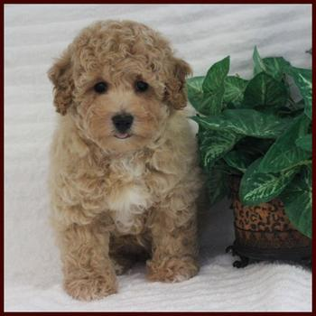 Bichpoo puppy for sale near me