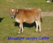 miniature jersey cattle for sale