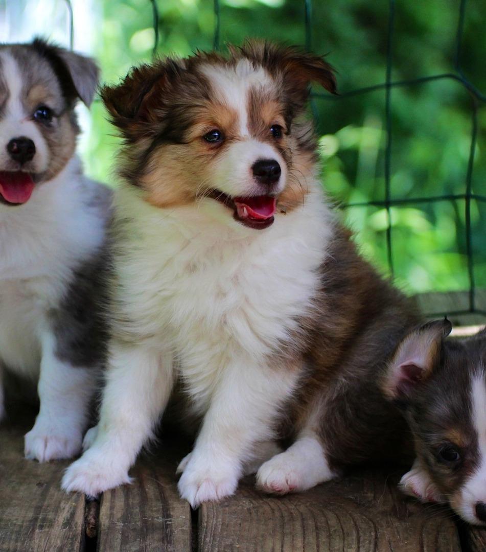Available Mini Toy Akc Sheltie Shetland Sheepdog Puppies