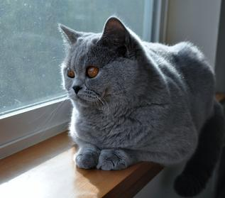 SilverBrook British Shorthair