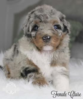 What Is A Bernedoodle Dog