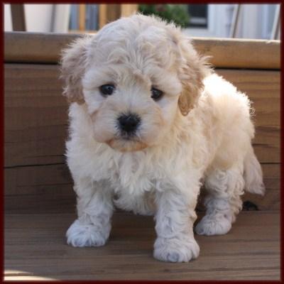 Rolling Meadows Puppies Maltipoo ~ Poochon ~ Shichon Poo