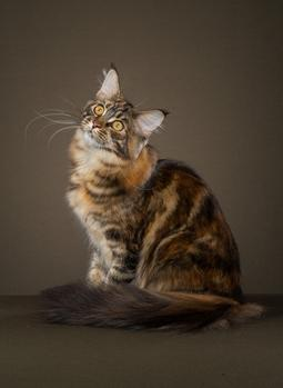 Mollymaines Maine Coon Cats Available In Central Illinois Pedigreed Cat Breeder Kittens For