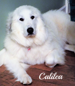 Cali Wells Providence Great Pyrenees