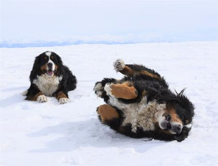 Berneses Playing on Snow - Utah Bernedoodles