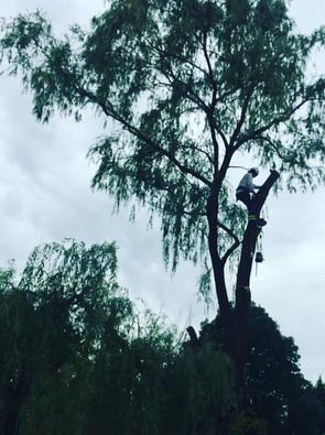Large Willow Tree Removal, Stoney Creek Tree Services, Commercial Tree service, Tree expert Climbing