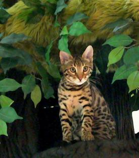 Best Cat Trees for Bengal Cats