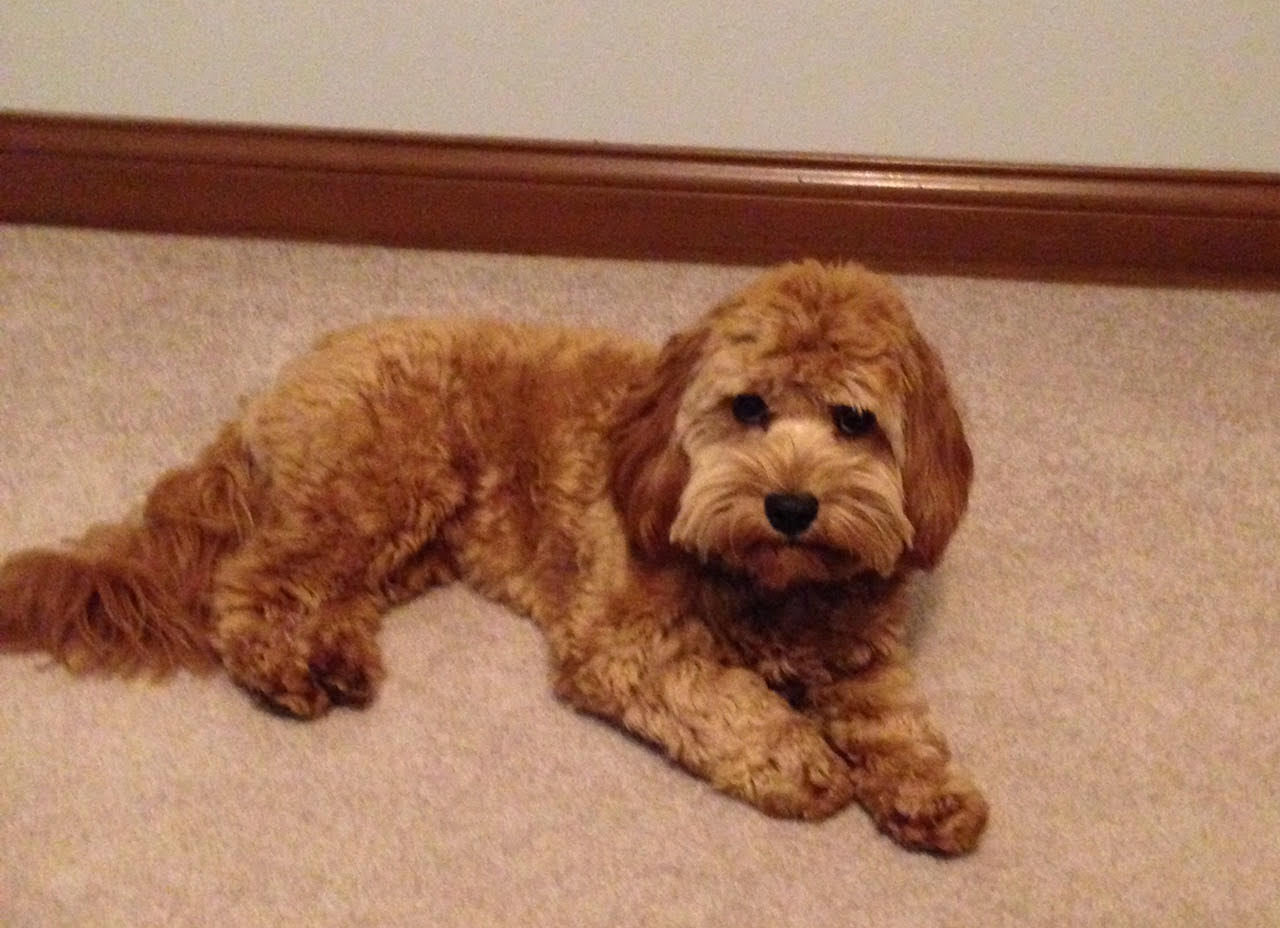 Cavapoochon Dogs For Sale