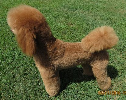 Sheryl Bleich - Standard Poodle Puppies, Red Standard