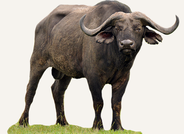 Central African Republic Buffalo