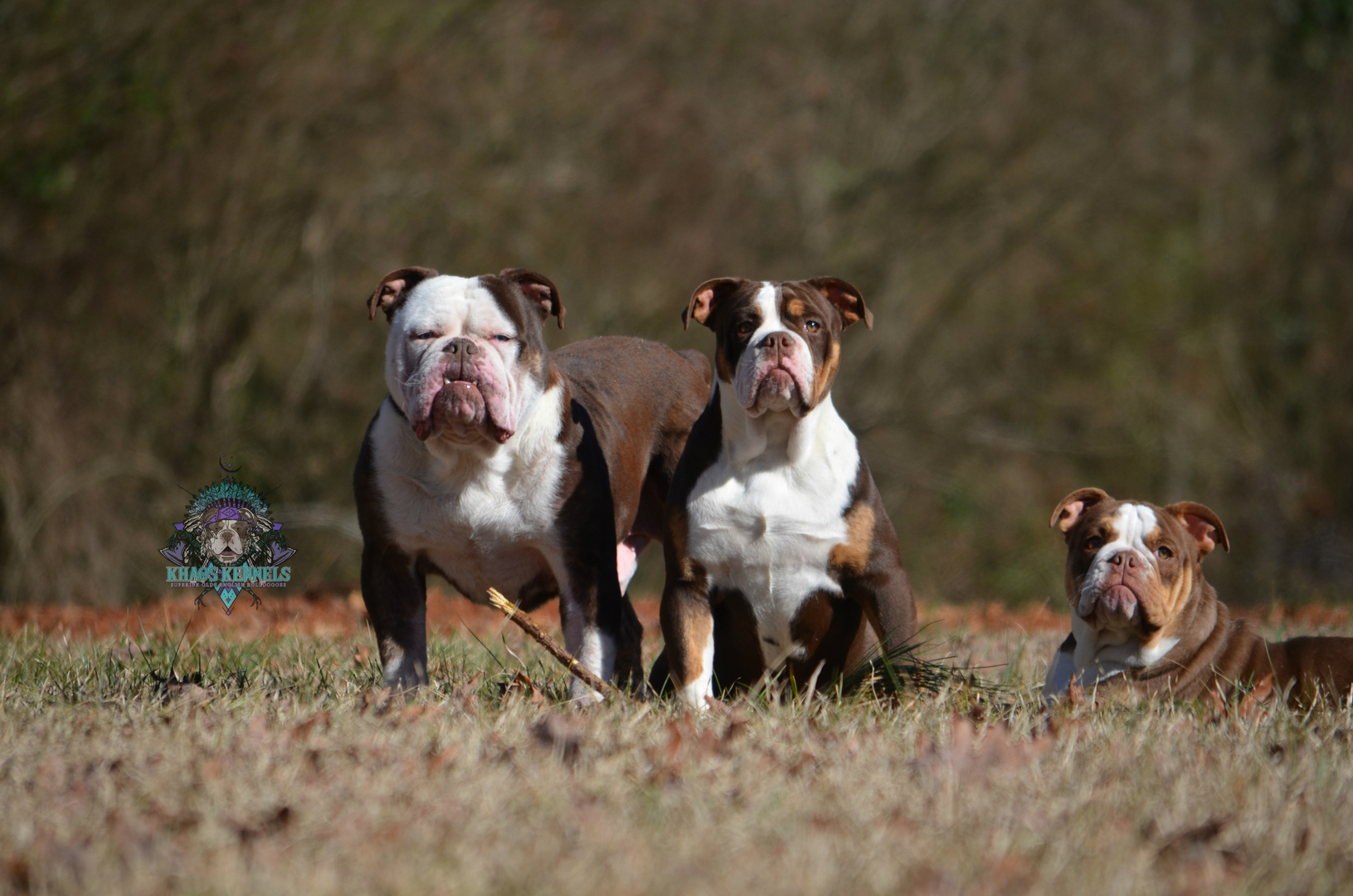 KHAOS KENNELS - Kennel, Superior Olde English Bulldogges