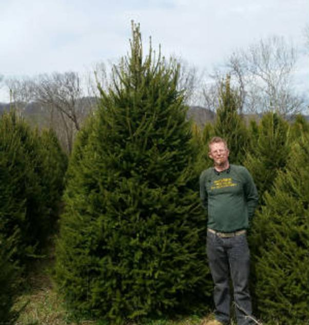 Pices Abies, Norway Spruce