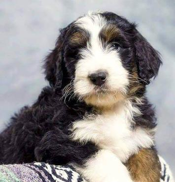 Sable Bernedoodle