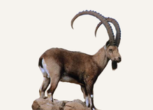 New Mexico Ibex