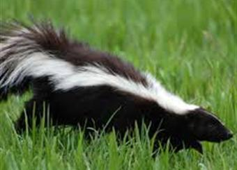 skunk removal louisville