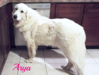 Arya Wells Providence Great Pyrenees